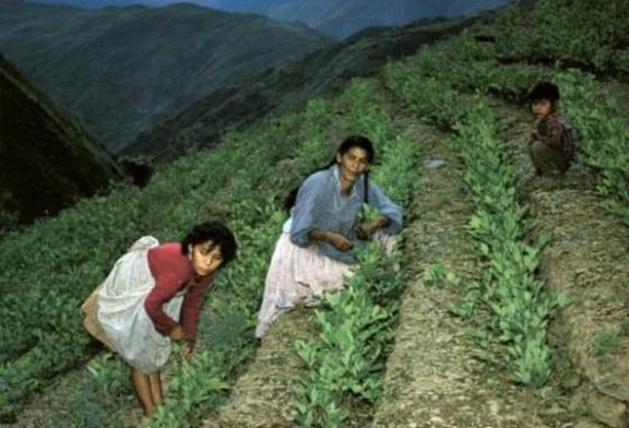 Peru suspende programa de erradicação de plantações de coca